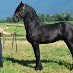 Samme - Friesian stallion for sale